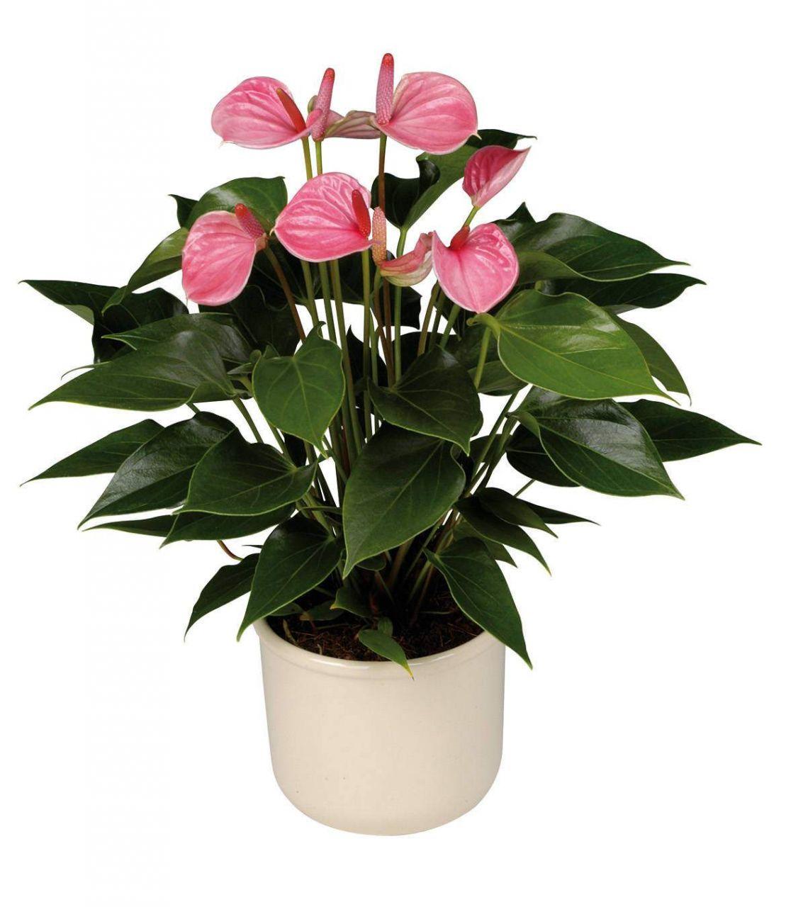 Популярные цветы в горшках названия и фото