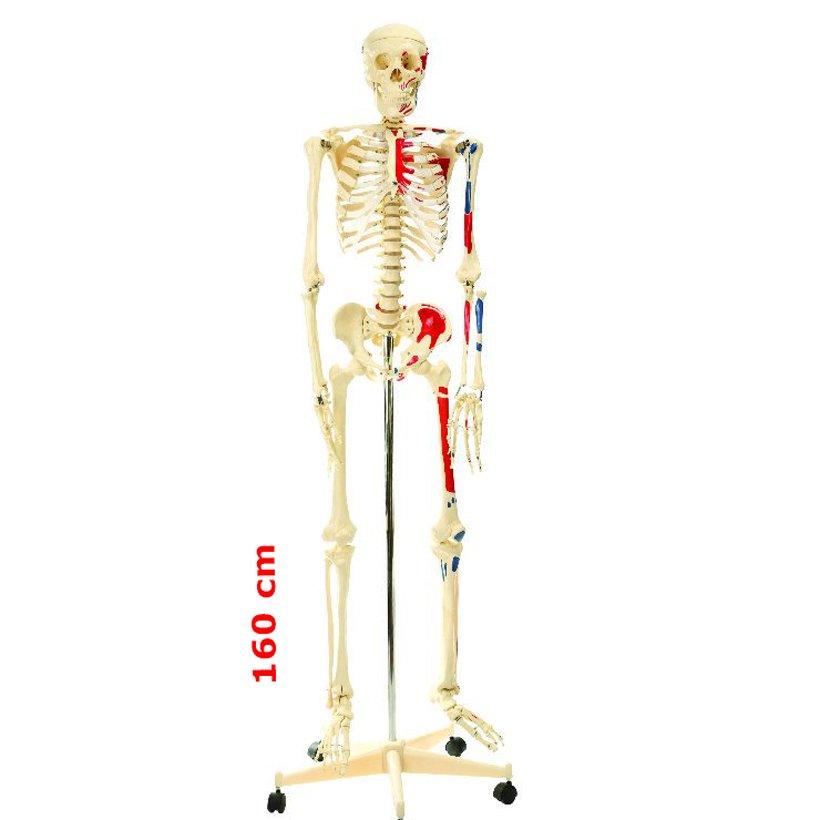 Fen Ve Doga Kosesi Iskelet Modeli Boy 160 Cm Kitatoys Com Da