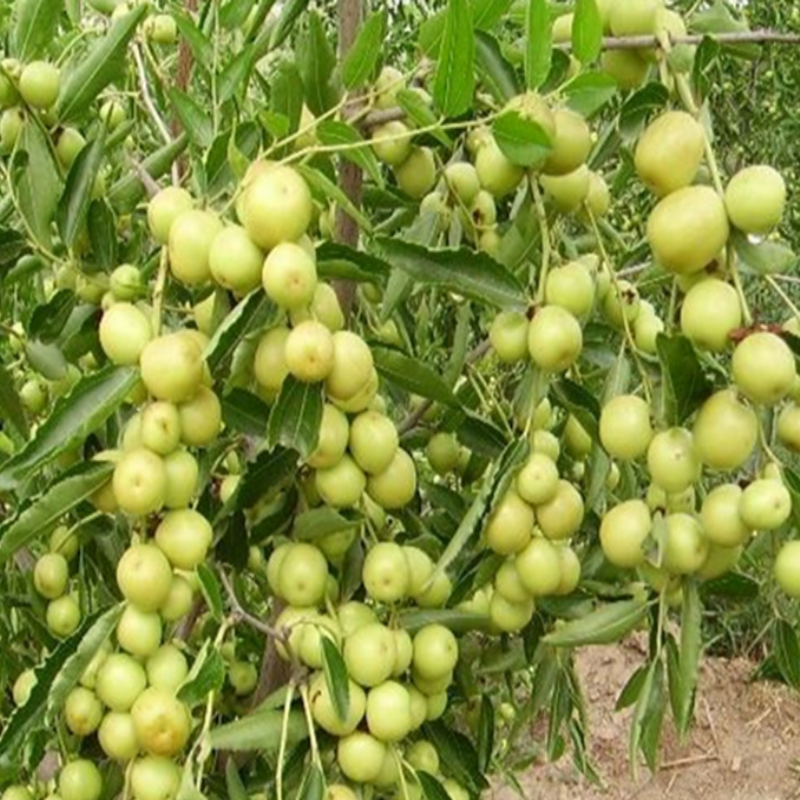Hızlı Gönderim Taze Hünnap Meyvesi