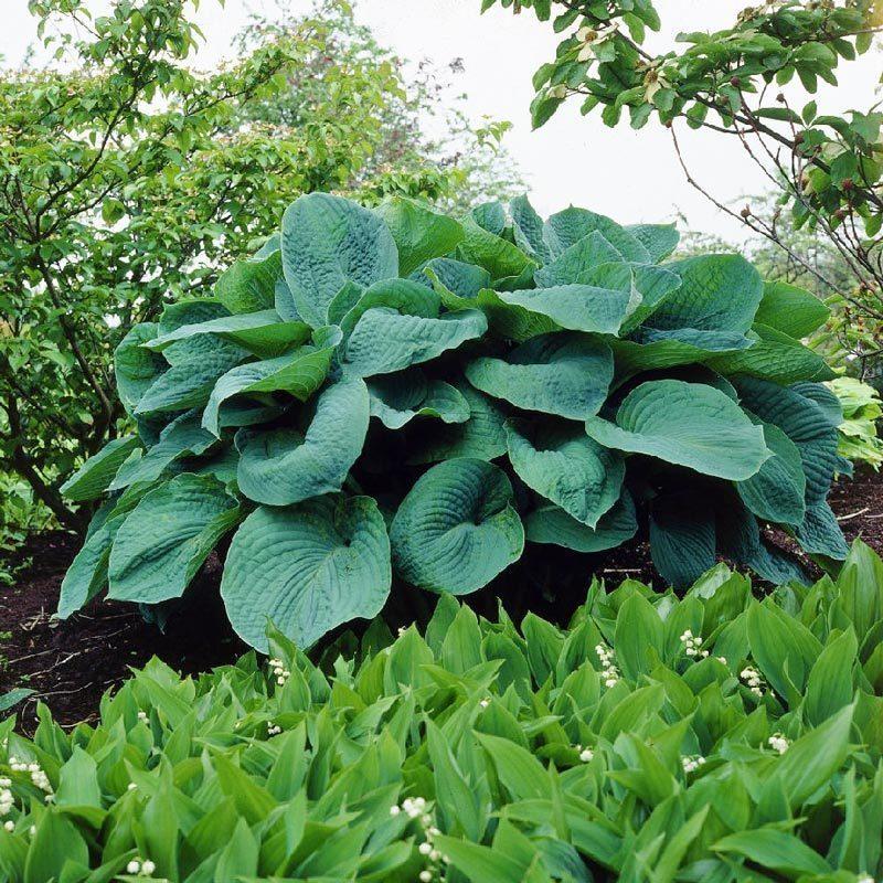 Hosta Big Daddy Süpürge çiçeği Soğanı Satın Al