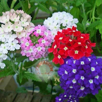 Dev çiçekli verbena tohumu - 3,90 TL