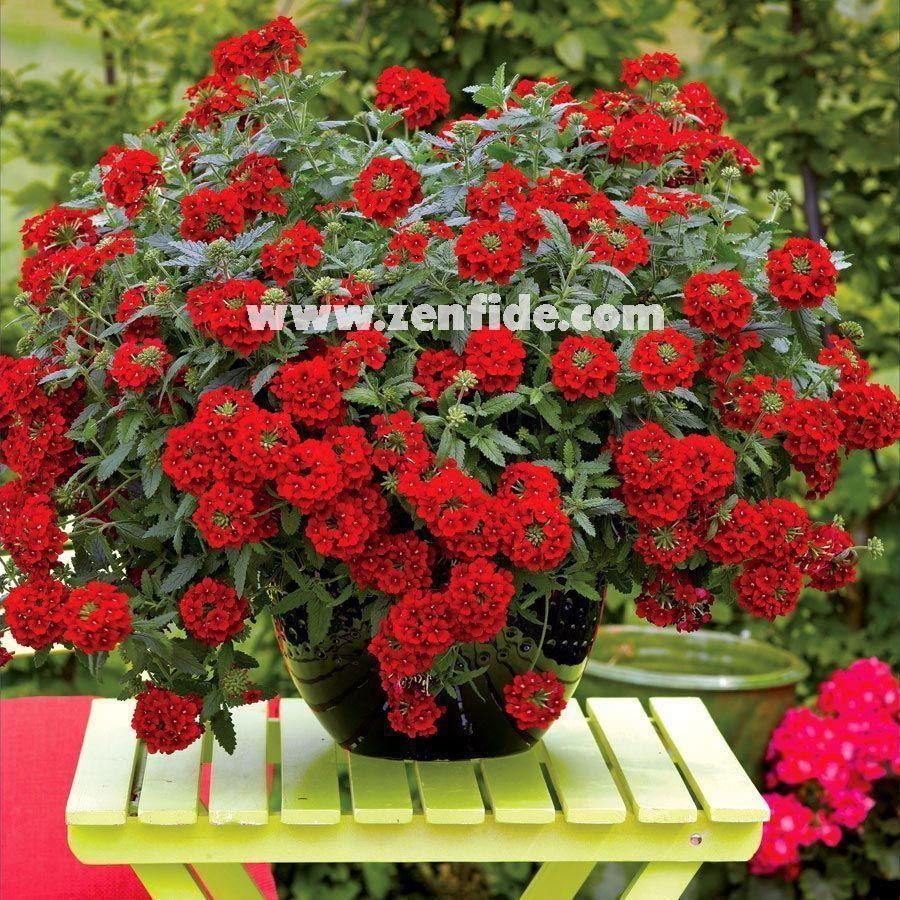 Mine çiçeği Fidesi Verbena Fidesi Yer Minesi çiçeği 490 Tl
