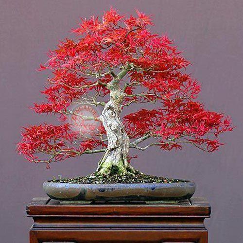 Beni otake ak aa a tohumu 7 90 tl - Arce rubrum bonsai ...