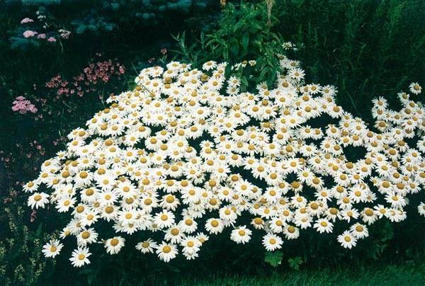 Ромашка садовая принцесса выращивание из семян